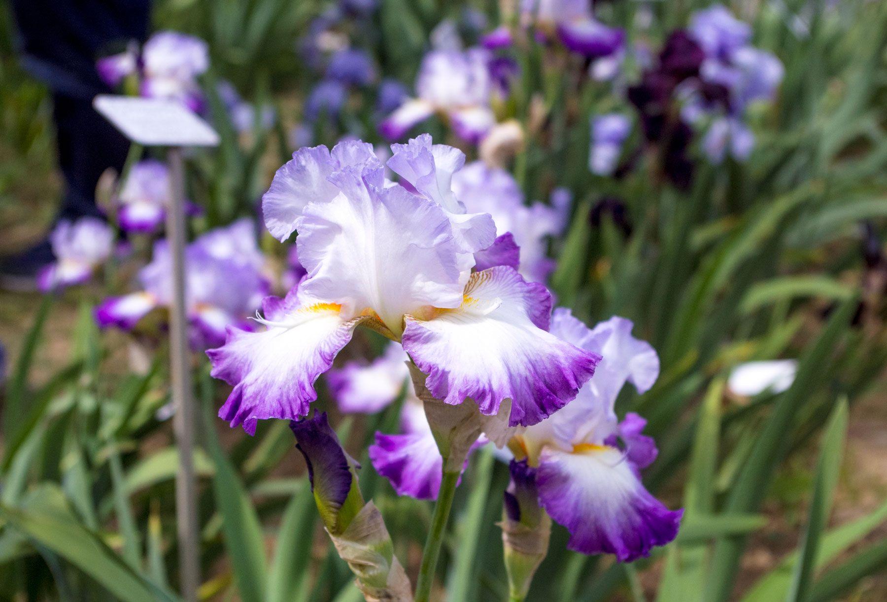 Il giardino dell'Iris a Firenze